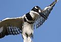Pied Kingfisher, Ceryle rudis, at Pilanesberg National Park, South Africa (27859072334).jpg