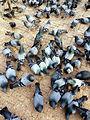 Pigeon in Baudhanaath Prabina 07.JPG