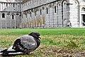 Pigeon in Pisa.jpg
