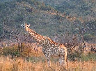 Pilanesberg Game Reserve - A giraffe in Pilanesberg Game Reserve