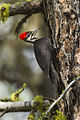 Pileated Woodpecker - Sisters - Oregon.jpg