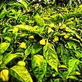 Pilipili Mbuzi (Habanero Peppers).jpg