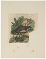 Piloris spec. - 1700-1880 - Print - Iconographia Zoologica - Special Collections University of Amsterdam - UBA01 IZ20600143.tif