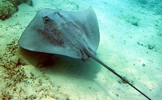 Pink whipray species of fish
