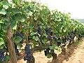 Pinot noir - Bourgogne (Santenay).JPG