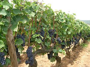 Pinot noir - Pinot noir grapes at Santenay, in Burgundy