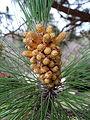 Pinus canariensis kz1.JPG