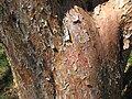 Pinus densiflora, Mount Auburn Cemetery - 2.JPG