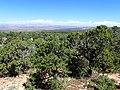 Pinus edulis kz09.jpg
