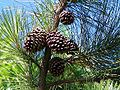 Pinus elliottii follhas frutos.JPG