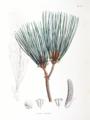 Pinus massoniana SZ113.png