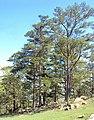 Pinus oocarpa, San Rafael del Norte, Nicaragua.jpg