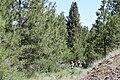 Pinus ponderosa 9192.JPG