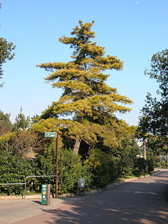 <i>Pinus radiata</i> species of plant