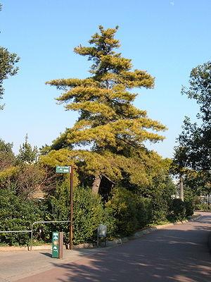 Pinus radiata - Image: Pinus radiata