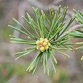 Pinus sylvestris in Aveyron (5).jpg
