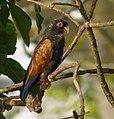 Pionus chalcopterus (Cotorra maicera) - Flickr - Alejandro Bayer (13).jpg