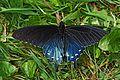 Pipevine Swallowtail - Battus philenor, Great Smoky Mountains National Park, North Carolina.jpg