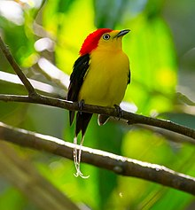 Pipra filicauda - Wire-tailed Manakin (cropped).jpg