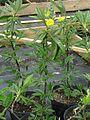Piptanthus nepalensis - Flickr - peganum.jpg