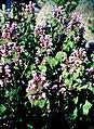 Pirineos, flora 1981 44.jpg