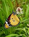Plain Tiger Danaus chrysippus Female by Dr. Raju Kasambe DSCN9570 (2).jpg