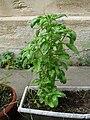 Plant de basilic.jpg
