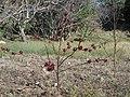 Planta De Jamaica - panoramio.jpg