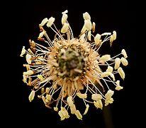 Plantago lanceolata 09 ies.jpg