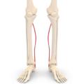 Plantaris muscle - anterior view.png