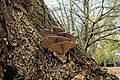 Pleurotus ostreatus (32690029090).jpg