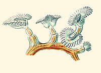 Plumatella repens from Haeckel Bryozoa drawing Commons2.jpg