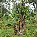 Pohon Pisang Photo.jpg