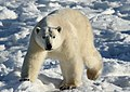 Polar bear walking (6375850865).jpg