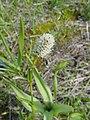 Polygonum bistortoides-5-02-04.jpg