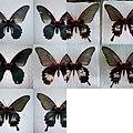 Polymorphism in Papilio memnon Female.jpg