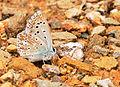 Polyommatus syriacus.jpg