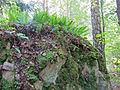 Polypodium vulgare - Kallioimarre, Stensöta, Common polypody IMG 2706 C.JPG