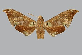 Polyptychus enodia BMNHE270615 male up.jpg