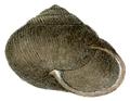 Pommerhelix monacha shell 2.png