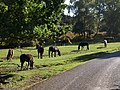 Ponies at Shobley - geograph.org.uk - 1543737.jpg