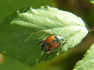 Aurore (grape) - One of the viticultural hazards that can afflict Aurore vines are infestations from Japanese beetles.