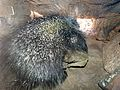 Porcupine - Flickr - gailhampshire.jpg