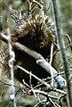 Porcupine NPS11747.jpg