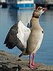 Posing Egyptian goose near Oestrich-Winkel, Germany 20150207 1.jpg