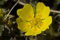 Potentilla uniflora (7833382094).jpg