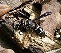 Potter Mason Wasp (26786968209).jpg