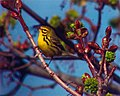 Prairie Warbler, Missoula, MT (3rd state record), April 21, 2003 (6479286237).jpg