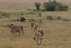 A pride on the move near Governors Camp, in the Massai Mara, Kenya