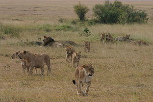 Lions, Location: Near Govenors Camp, in the Ma...